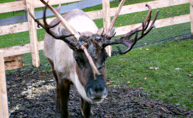 Edinburgh Christmas reindeer