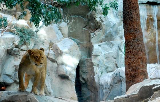 Las Vegas MGM Lion Habitat distant (www.free-city-guides.com)