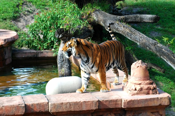 Orlando Animal Kingdom Tiger (www.free-city-guides.com)