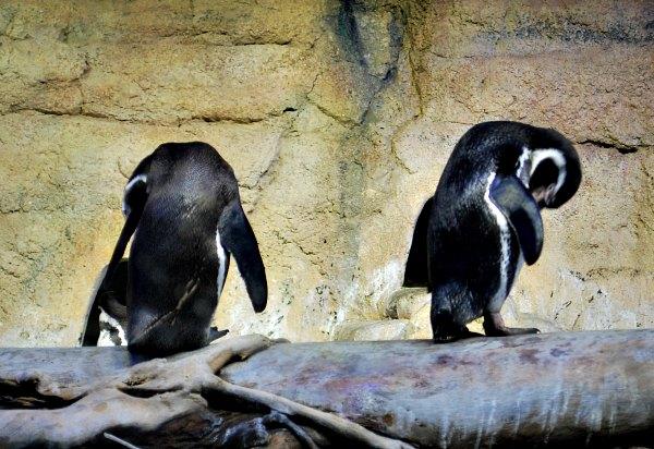 Dubai Aquarium Penguins