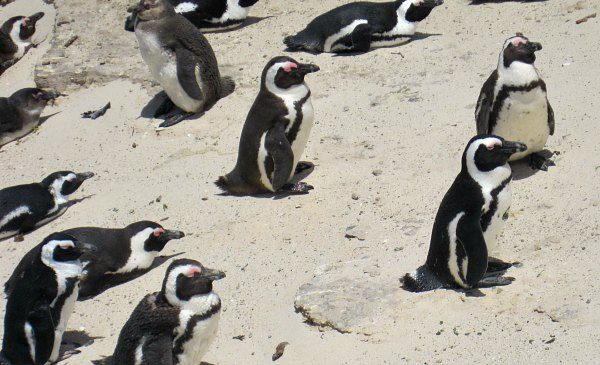 Cape Town Boulder's Beach Penguins Close