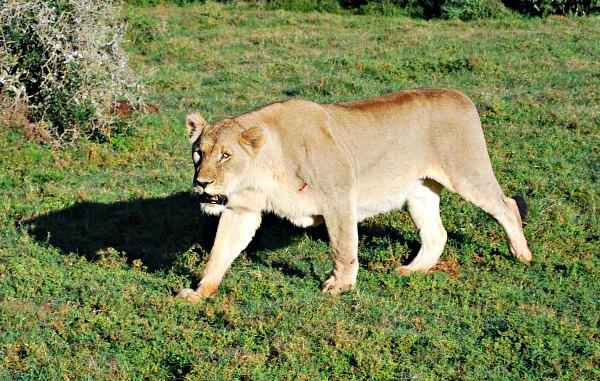 Shamwari Lioness
