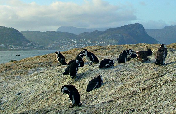 Cape Town Boulders Beach Penguin Group