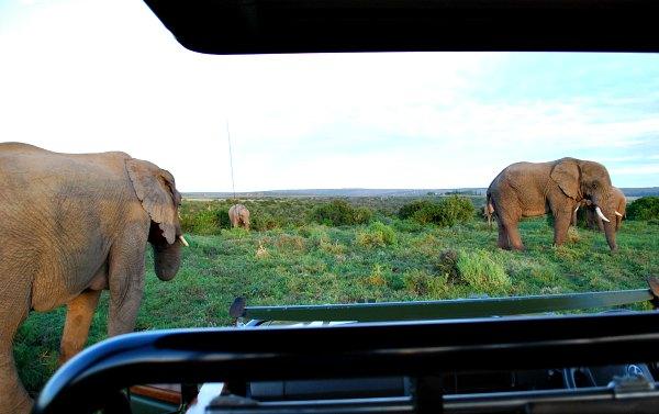Shamwari Bayethe Elephants