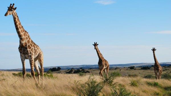 Shamwari Giraffes