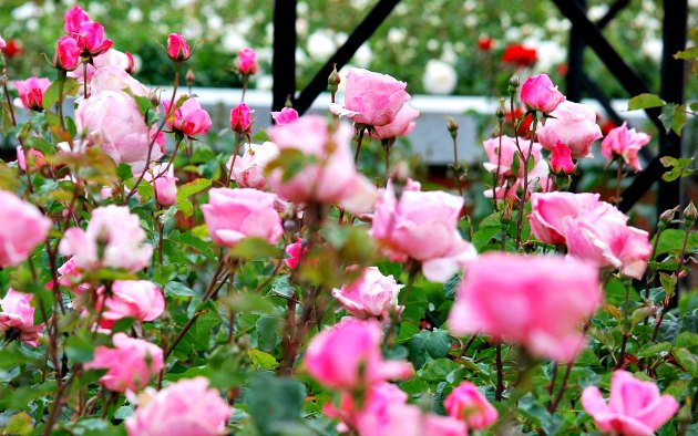 Madrid Retiro Park Rose Garden