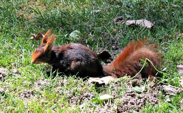 Madrid Retiro Park Red Squirrel