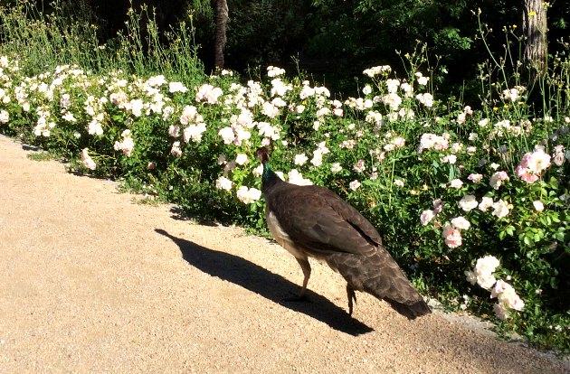 Madrid Palace Gardens Peacock